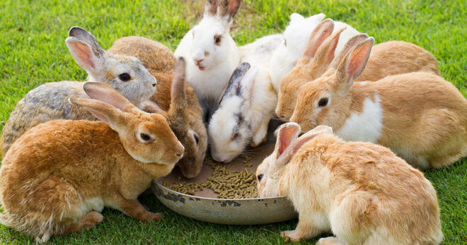 A warren of rabbits eating.